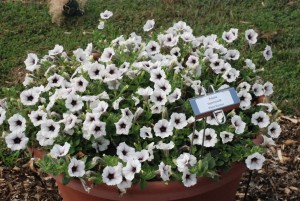 Petunia_Supertunia_WhiteRussian_pot