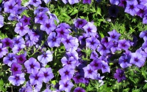 Blueberry-Phlox-Intensia