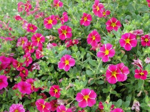 Calibrachoa Superbells cherry  star