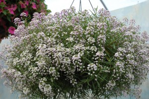 Lobularia Blushing Princess 2