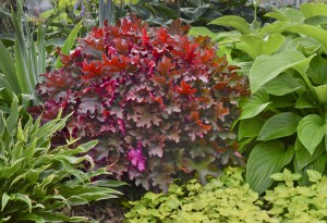 CINNAMON CURLS CORAL BELLS