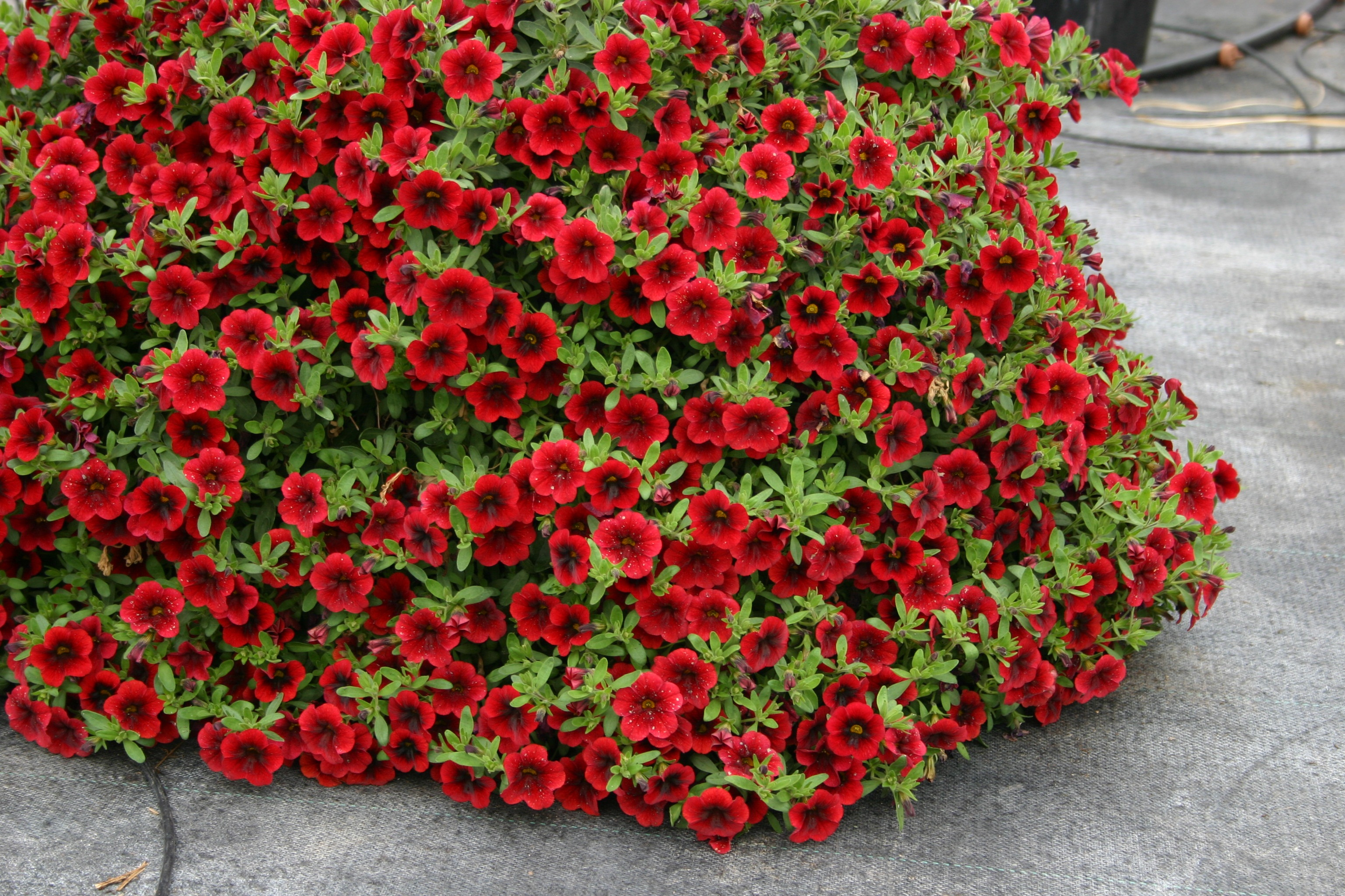 Top new plants for 2014 steinbrink landscaping greenhouses - Calibrachoa superbells ...
