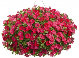 supertunia-watermelon-charm-basket