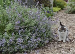 CAT'S MEOW NEPETA