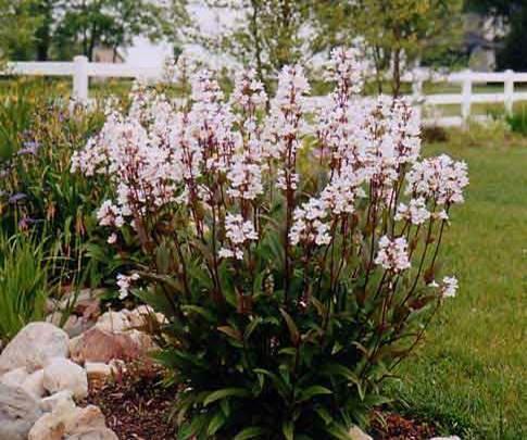 Top 10 perennials steinbrink landscaping greenhouses penstemon husker red mightylinksfo Choice Image