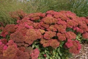 SEDUM - AUTUMN FIRE