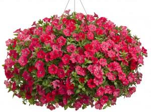 supertunia-watermelon-charm-basket